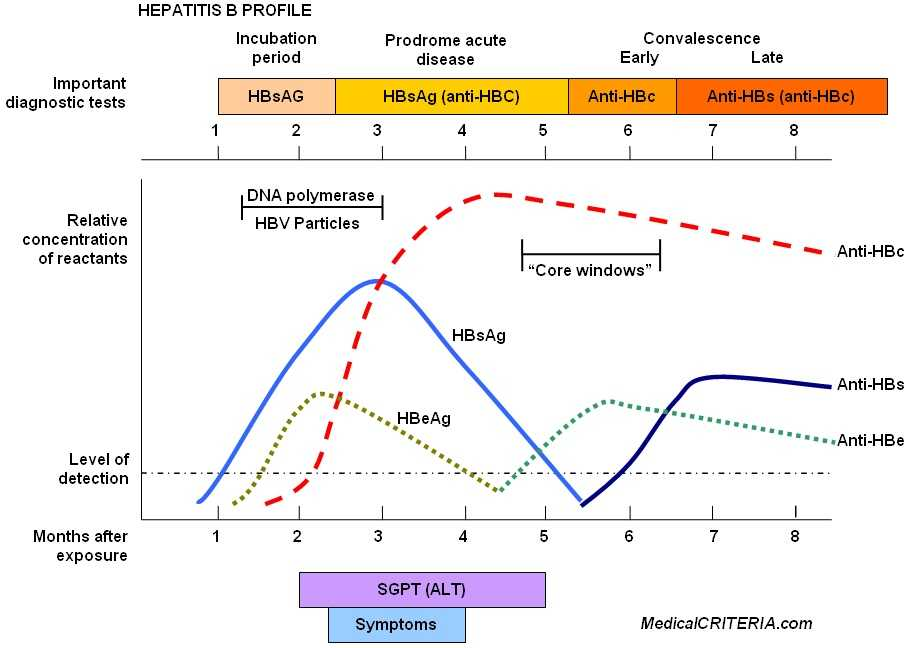 Serologic markers for the different phases of acute and chronic hepatitis B virus infection